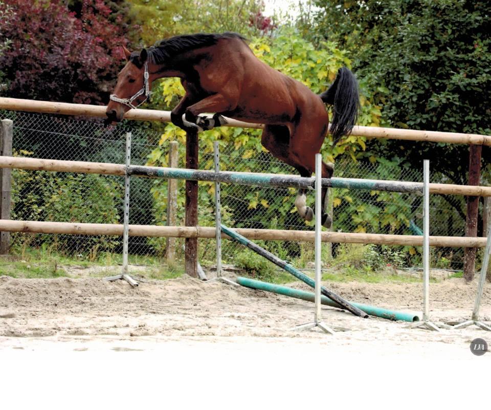 Colchique saut